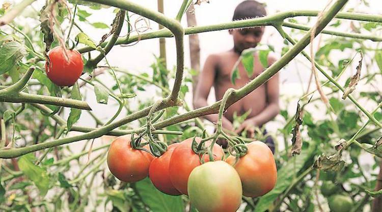 Unseasonal Rainfall Increases Price Of Tomatoes