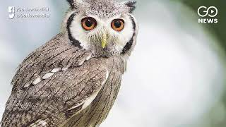 Concern Over Smuggling Of Owls For Ritual Sacrific
