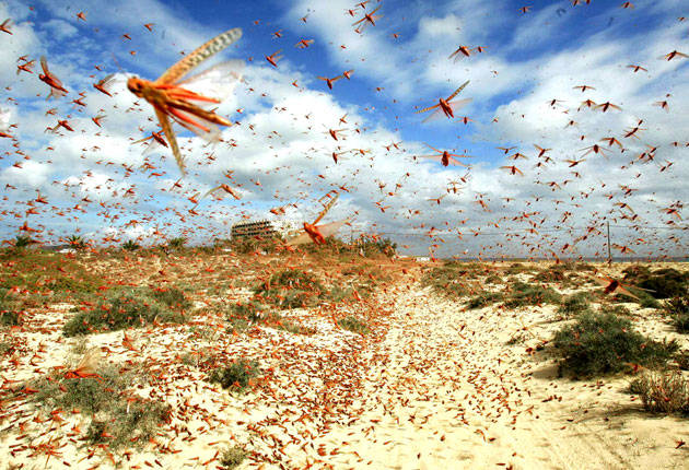 Farmers Suffer As Locust Swarms Threaten Rajastha