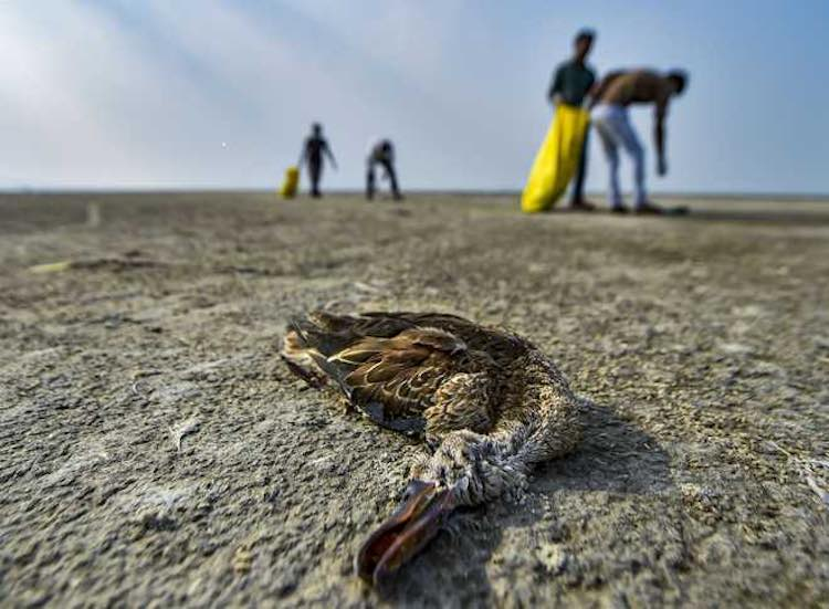 Rajasthan: Thousands of Migratory Birds Found Dead