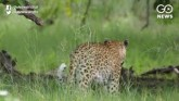 Leopardess Gives Birth To 4 Cubs Inside Hut In Mah