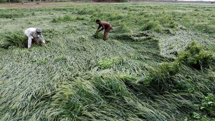 Farmers Hammered By Unseasonal Rain, COVID-19 Lock