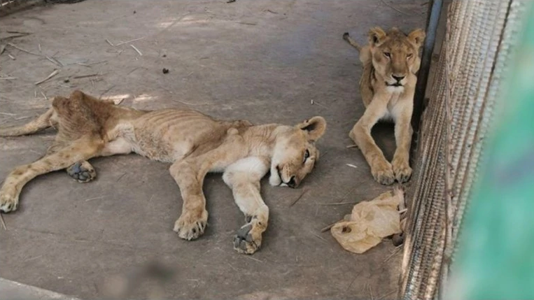 African Lions In Sudan On The Verge Of Dying, Camp