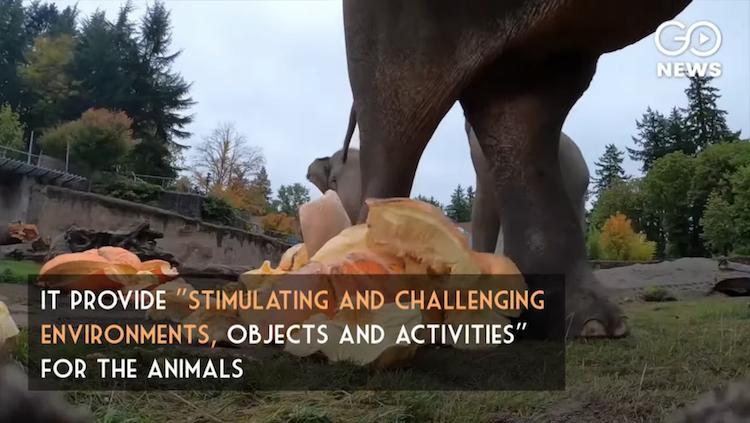 Elephant Fun Video Oregon Zoo Smashing Pumpkins