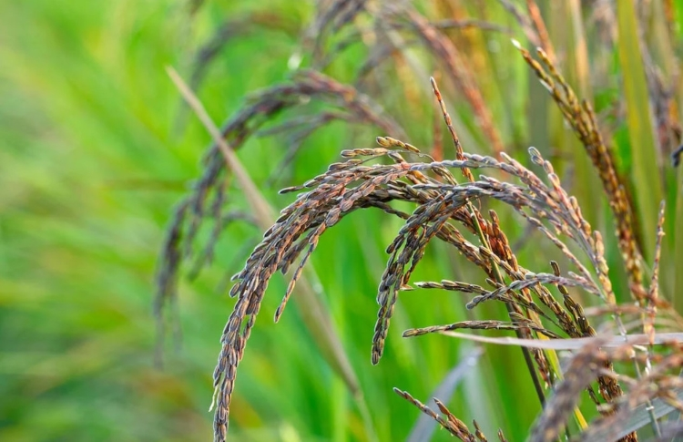 Assam Farmers Hope to Cash in on Black Rice Superf