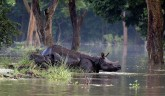 Assam: Wildlife Hit As Floods Submerge Kaziranga N