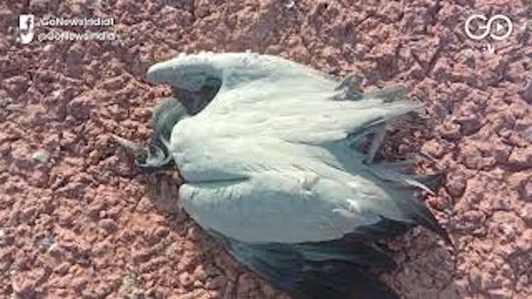 Migratory Birds Die Of Poisoning In Rajasthan