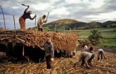 Sugar Mills Owe Rs 15,683 Crore To Cane Farmers