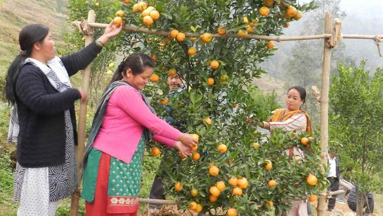 Darjeeling Oranges Lose Shine: Business Down To 5%