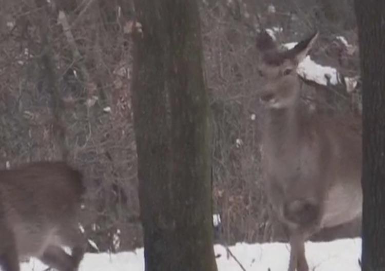 Srinagar: Snowfall makes it difficult for rare dee