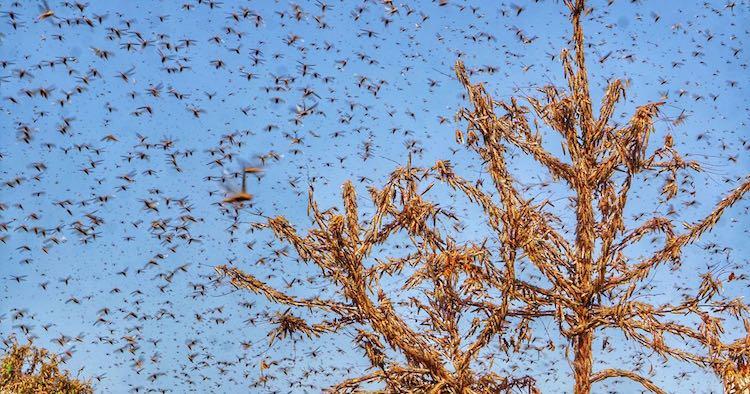 Locust Swarm Reach Gurugram, Delhi's Surrounding A
