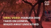 Fearless Dog Takes On Lioness, Walks Away Unscathe