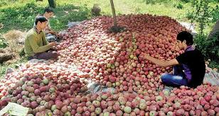 Heavy Snow Cripples Apple Farmers In J&K