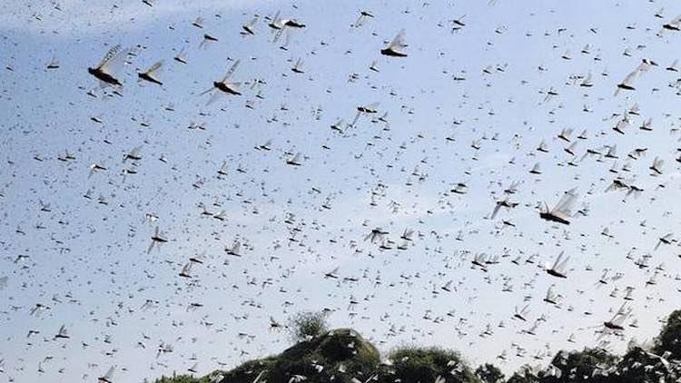 Pakistan Declares National Emergency Over Locust P