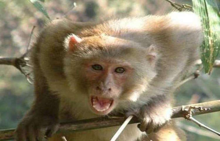terror of monkeys