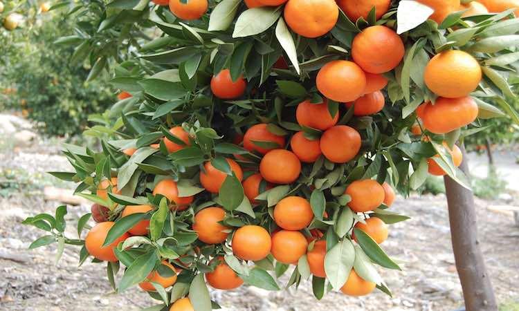 orange-business-in-darjeeling-is-just-5-left-diffi