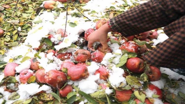 Unseasonal Snowfall Damages Apple Crop In Kashmir