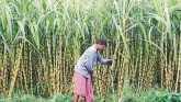 Does Privatisation Benefit Farmers? Sugar Mills Al