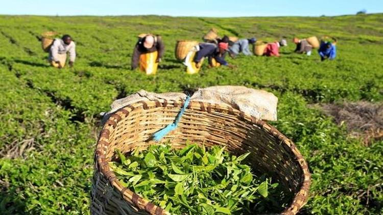 Tea Industry Suffers Double Whammy From Lockdown A