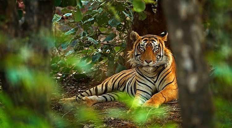 Average 124 Tigers Died In India Between 2000-18