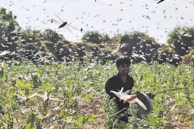 Terrorism of locusts continues to trouble farmers,